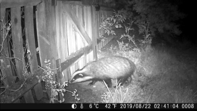 badger in back garden