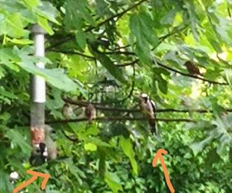 woodpeckers in the garden